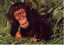 baby_chimp.jpg