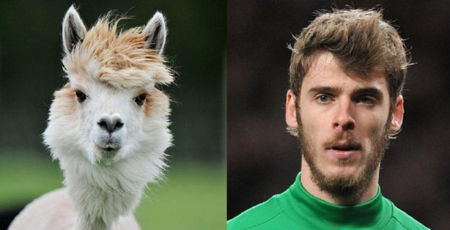 Shit Lookalike David De Gea Amp A Windswept Alpaca Who