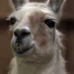 Psychic Llama Predicts Champions League Final Result  – Put Everything You Own On Chelsea (Video)