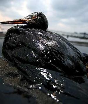 oil-gull